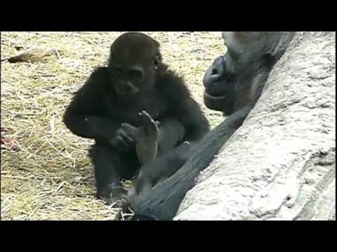 2011年4月7日の上野動物園のゴリラの赤ちゃんコモモ。Cute baby gorilla.#01