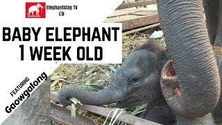 Baby elephant 1 week old, Gaowgalong | Elephantstay