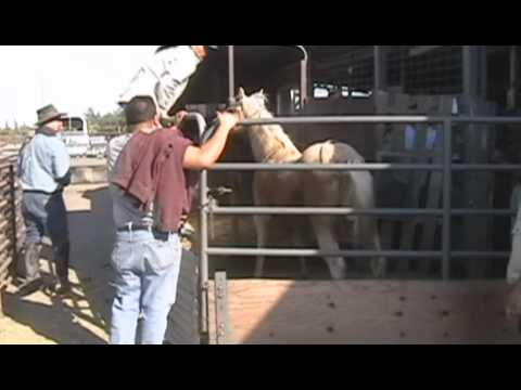Livestock Auction Horrors