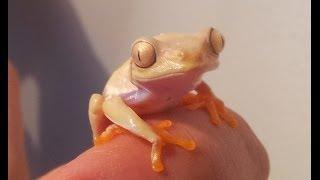 Red eyed Tree Frog Lutino morph  (Agalychnis callidryas)