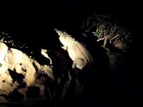 Questões e Fatos sobre Crocodilianos gigantes: Transferência de debate da comunidade Conflitos Selvagens.  - Página 2 0