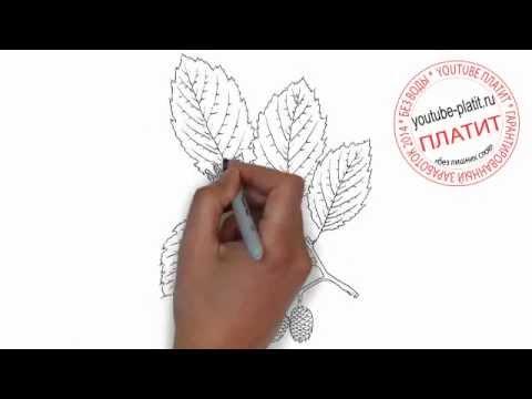 Как нарисовать ветку дуба с шишками