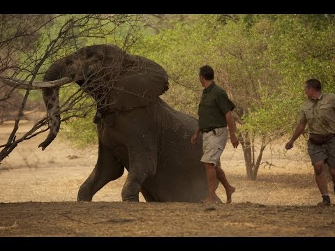 African elephant vs lion