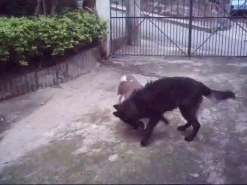 Pit Bull   Rottweiler  GSD