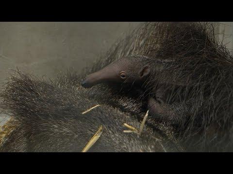 Erstes Ameisenbären-Baby im Zoo Leipzig