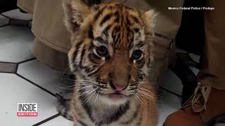 180301034 Police Find A Live Tiger Cub In An Express Mail Shipping Con