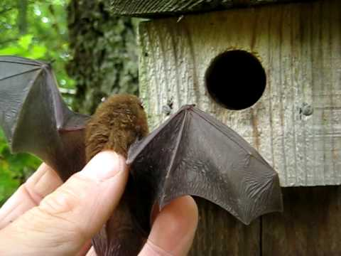 Pipistrelle bat in the hand Video