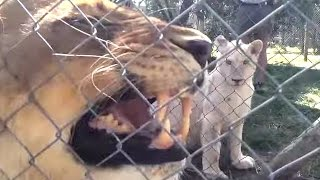 Freedom for Elsa the Lion - Canned Hunting - part 3.