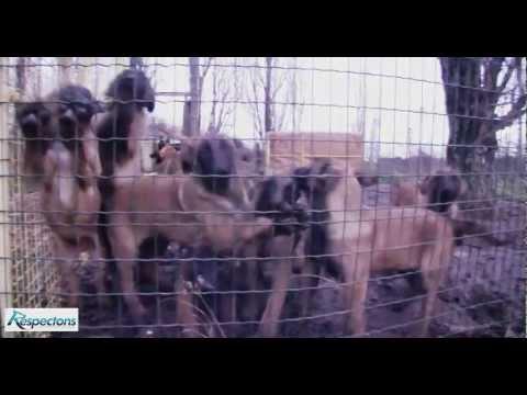 Élevage clandestin de chiens Malinois dans le 93
