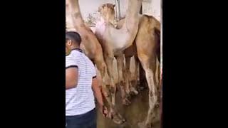 Arab Camel Qurbani Video