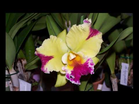 Cattleya Collection HD