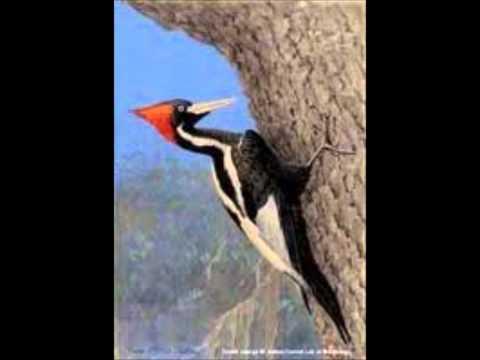 ivory-billed woodpecker tribute