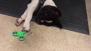 Dog Learns to Use Fidget Spinner