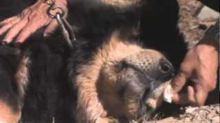 The Tibetan Mastiffs