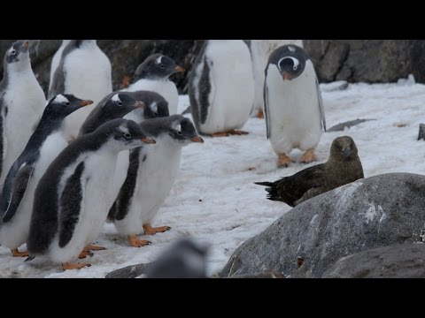 Penguin chicks vs skua - Natural World: Penguin Post Office: Preview - BBC Two