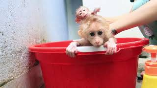 Monkey baby bathes after a period of abstinence.