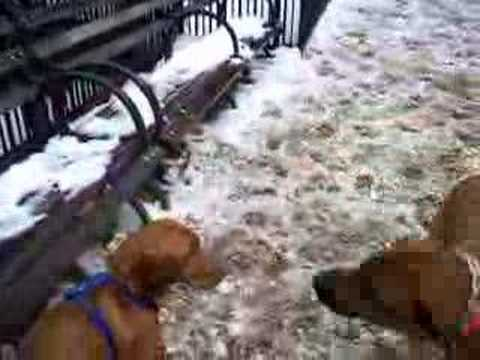 Vizsla and Ridgeback pups play