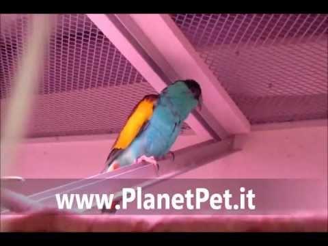 Psephotus Dissimilis – www.PlanetPet.it