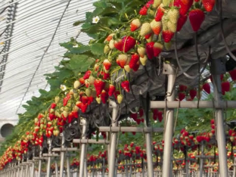 How to grow delicious strawberries