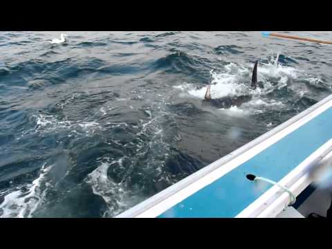 Feeding Giant Bluefin Tuna on Fishermans Bank