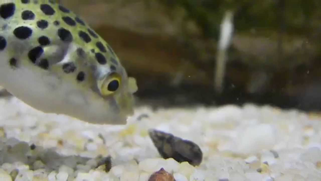 how to eat a puffer fish