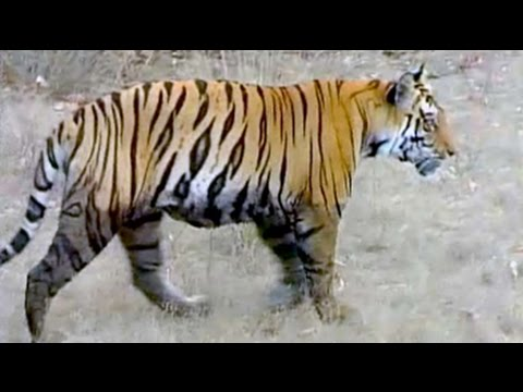 Sighting the Indian tiger