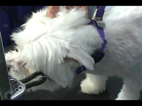 How to groom a maltese.  Maltese grooming at www.howtogroom.net