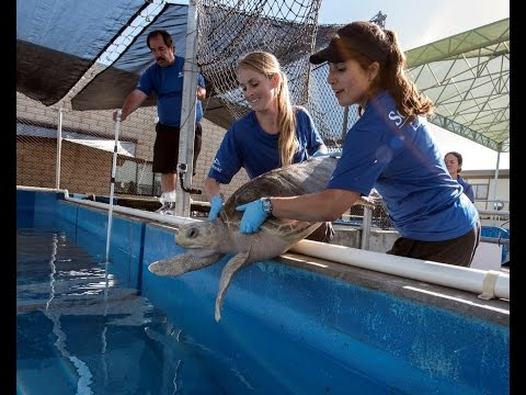 Two More Rescued Sea Turtles Arrive at SeaWorld   SeaWorld® San Diego