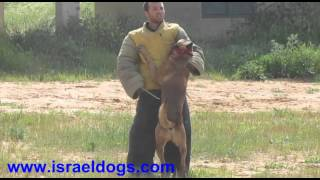 Israeldogs Grim - Random knpv training ,Stickattack