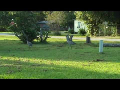 Pair of Sandhill Cranes in Downtown Bowling Green, FL.