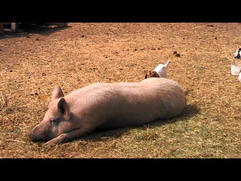 Baby goat plays with huge pig