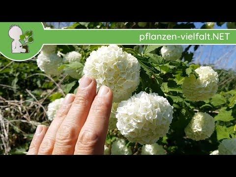 """Gew. Schneeball - Sorte """"Gefüllter"""" - 30.04.15 (Viburnum opulus) - Bäume/Sträucher bestimmen"""