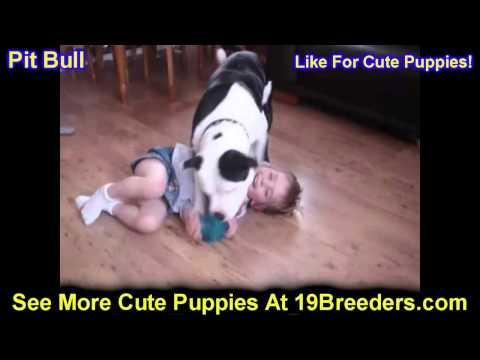 Pitbull, Puppies, For, Sale, In, Clifton, New Jersey, NJ, Morris, Passaic, Camden, Union, Ocean, Mon