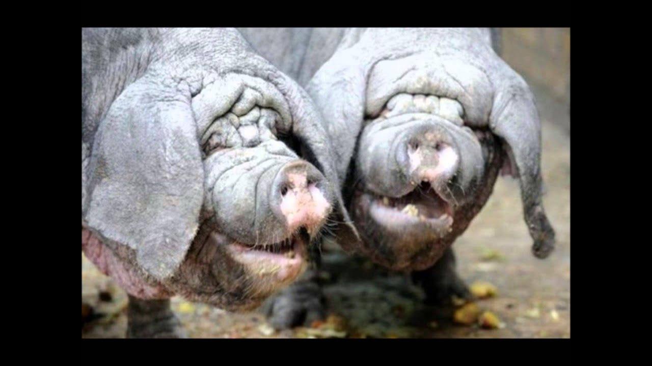 Свиной член фото 11 фотография