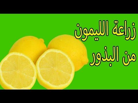 زراعة الليمون من البذور thumbnail