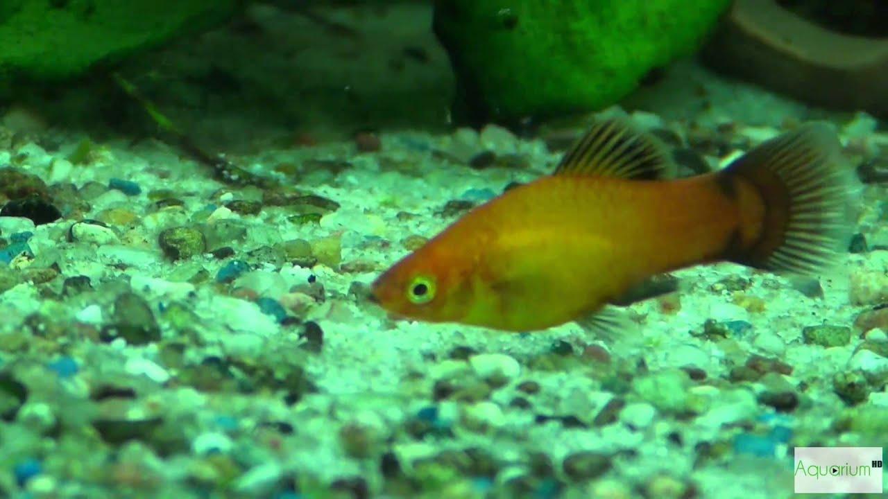 platy fische im aquarium deutschland farben in full hd youtube. Black Bedroom Furniture Sets. Home Design Ideas