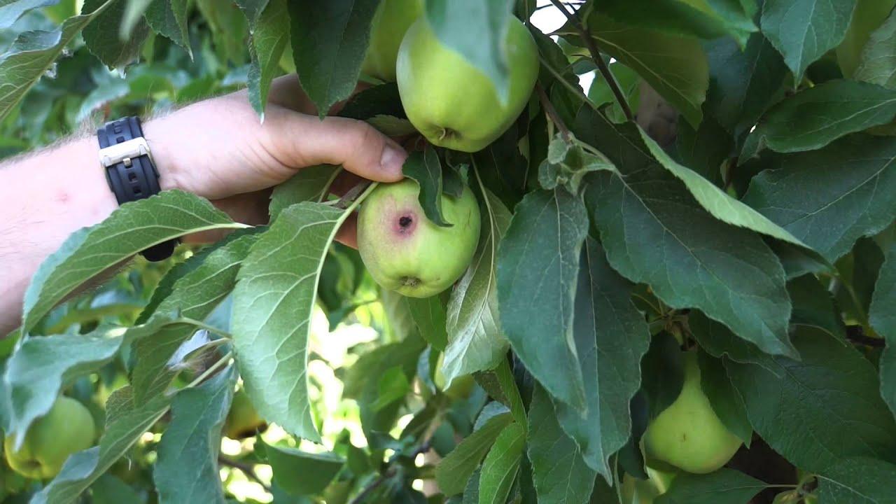 uprawa jabłek, szkodniki, forum sadownicze, owoców jabłówekcza