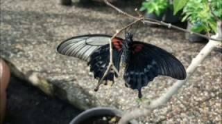 Çift Cinsiyetli Kelebek Büyük İlgi Gördü