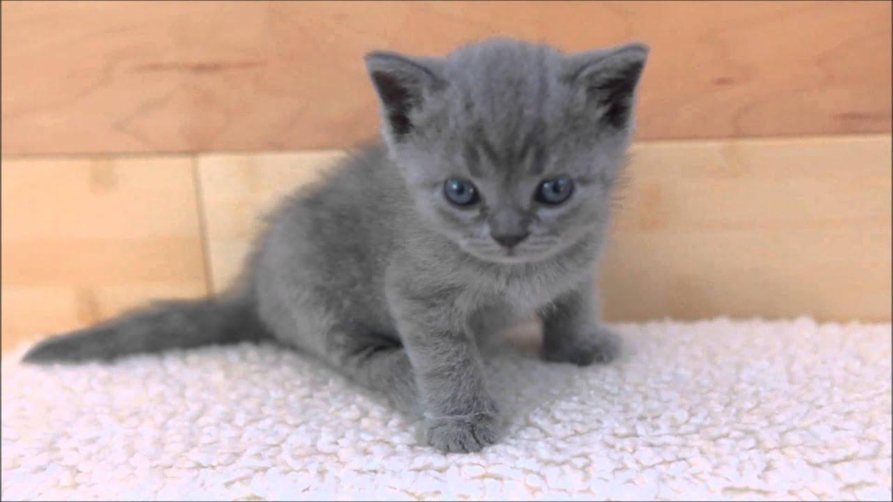Russian Short Eared Cat
