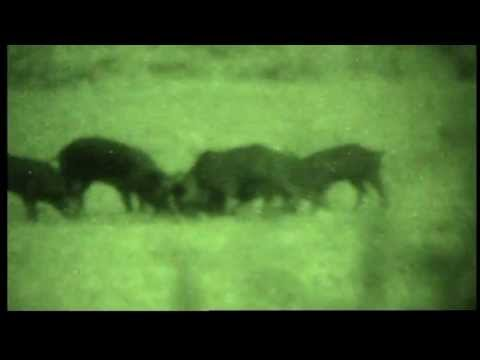 Night Vision Hog Hunt