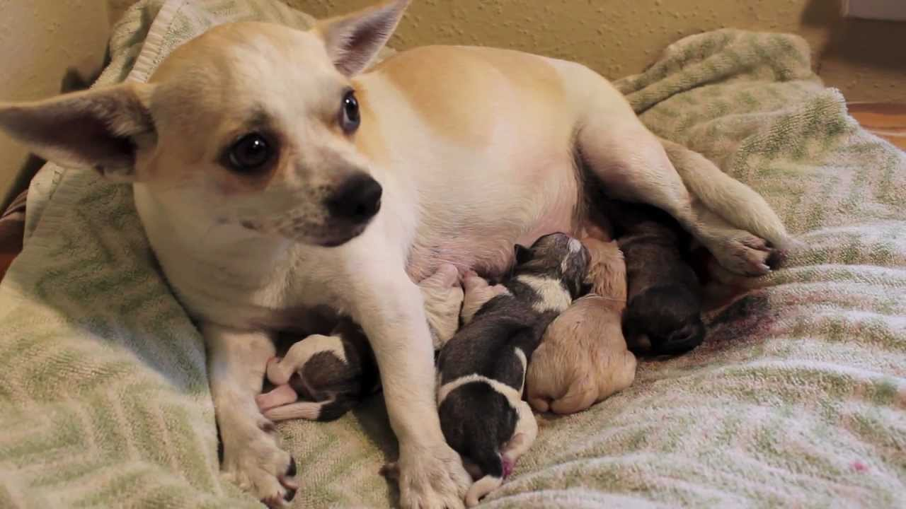 denver s fourth puppy chihuahua pug mix giving birth