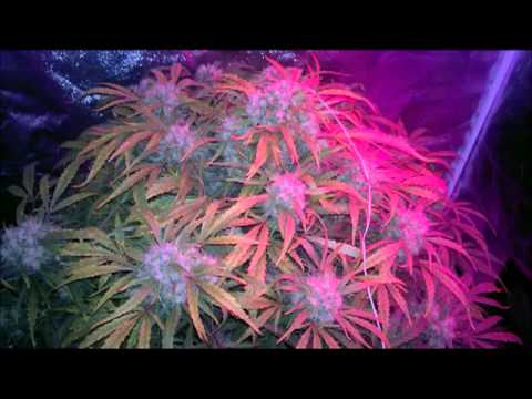 The Most Amazing Autoflower Grow Ever Recorded!!!  LED. DWC. info marijuana blogspot com