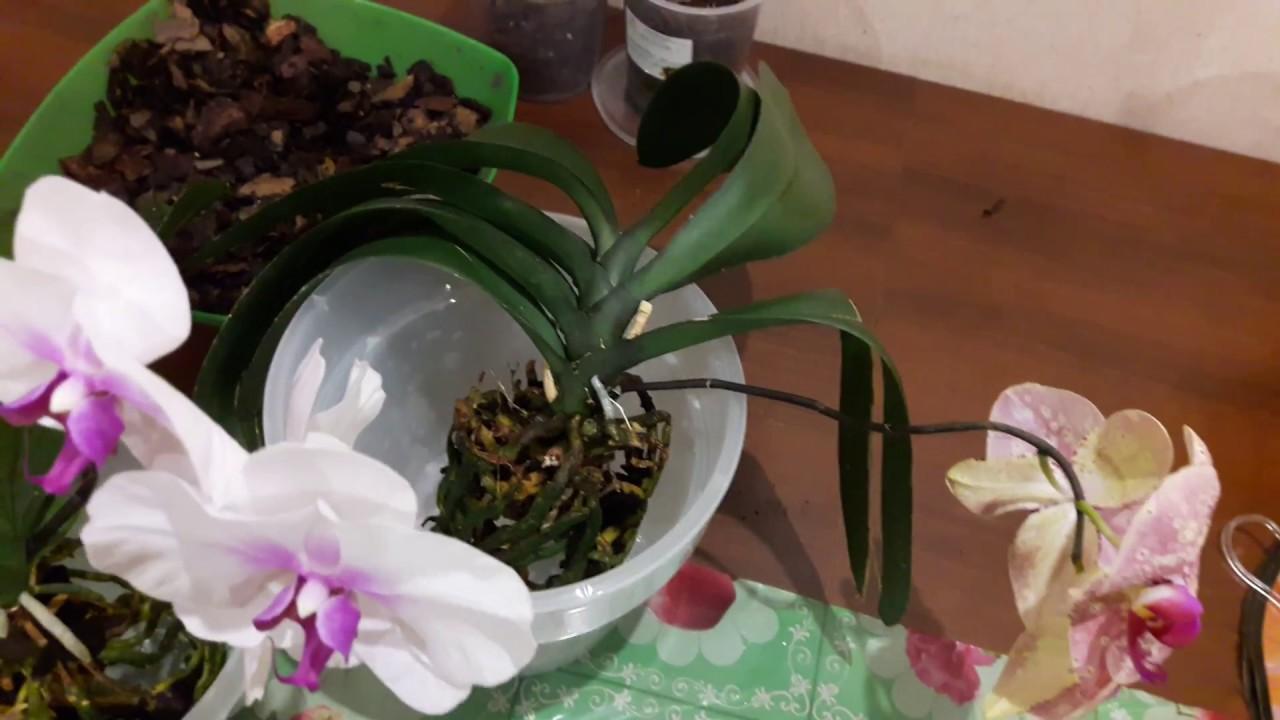 Орхидея фаленопсис уход в домашних условиях пересадка после покупки 759