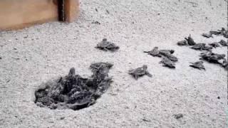 Turtle Hatch #27 @ 37th ave Oak Island