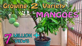 Grafting Two Different Variety Mangoes in a Single Mango Plant