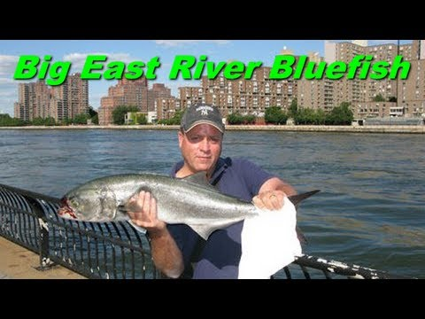 Urban Angler - NYC East River Bluefish Fishing