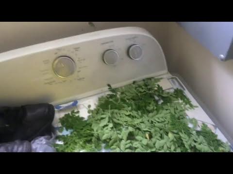 Cutting. drying. and making Moringa Powder