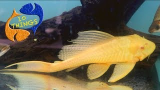 One Of The Most Mistreated Fish In The Hobby. Top 10 Things About The Common Plecostomus!!