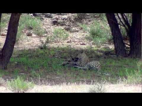 Leopard kills and eats Bat-eared fox