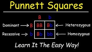 Punnett Squares - Basic Introduction